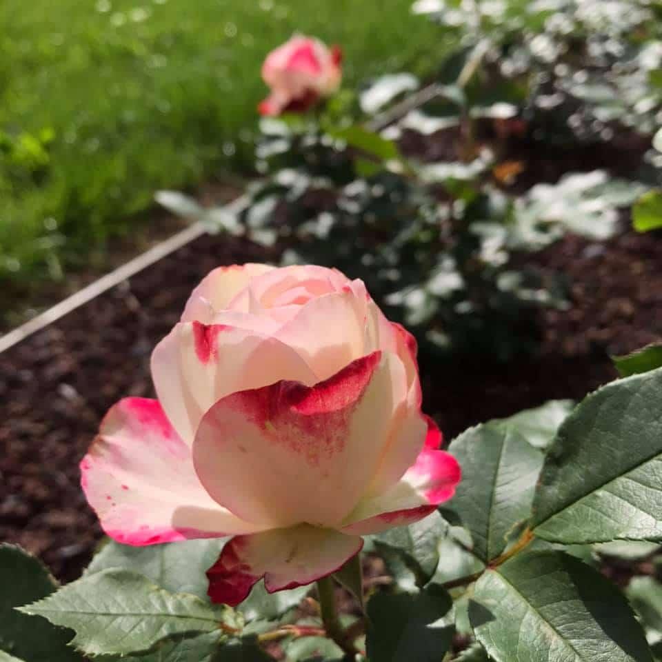 Parc loisirs rose